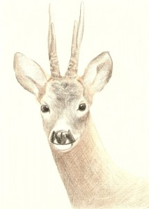 Roe buck portrait, coloured pencils, A4