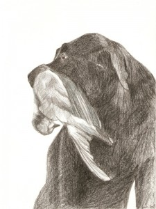 Black labrador retrieving pigeon, pencil, A4