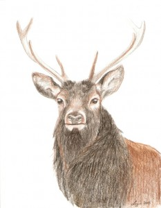 Red stag portrait, coloured pencils, A4