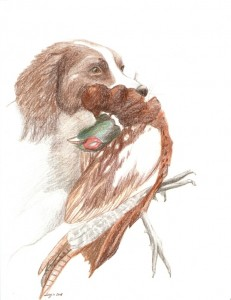 Springer spaniel retrieving pheasant, coloured pencils, A4
