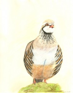 Red-legged partridge, coloured pencils, A3