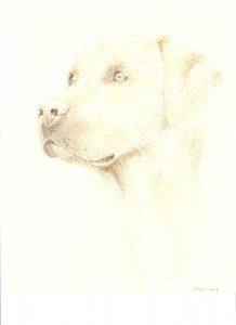 Yellow labrador portrait, coloured pencils, A4
