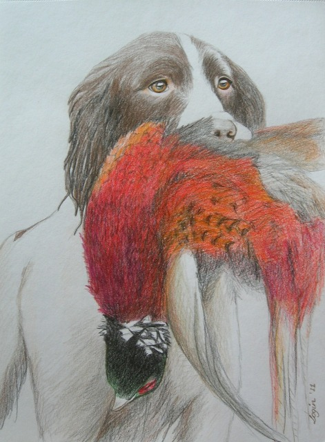 Spaniel retrieving pheasant, coloured pencils, A4