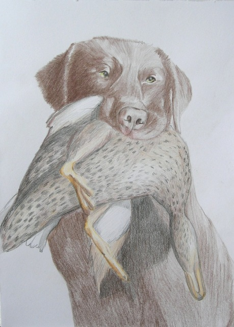 "Chocolata labrador retrieving mallard, drawing, 16""x20"""
